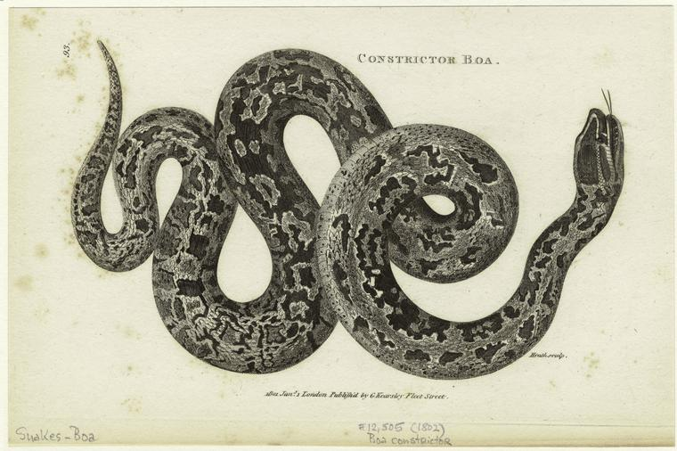 constrictorboa
