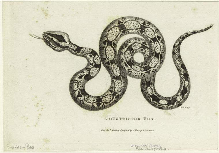 constrictorboa1